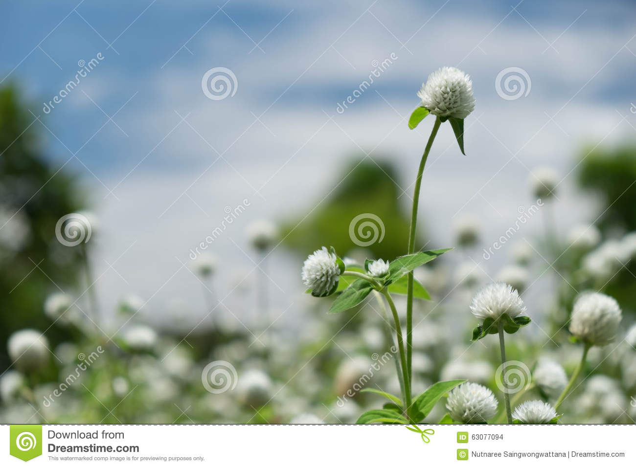 Download Fleur Blanche D'herbe Parmi La Nature Photo stock - Image du fond, journée: 63077094