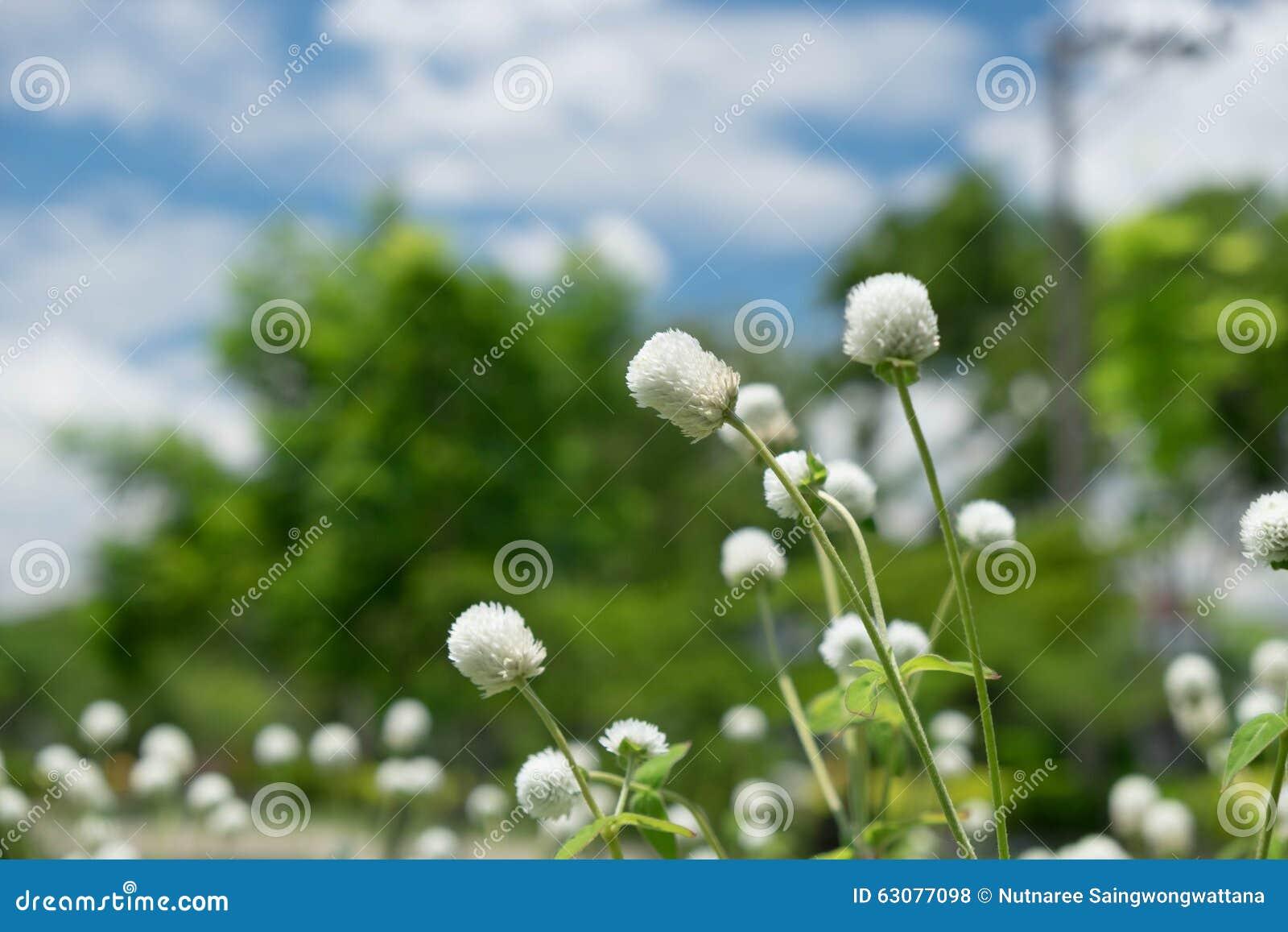 Download Fleur Blanche D'herbe Parmi La Nature Photo stock - Image du abstrait, lames: 63077098