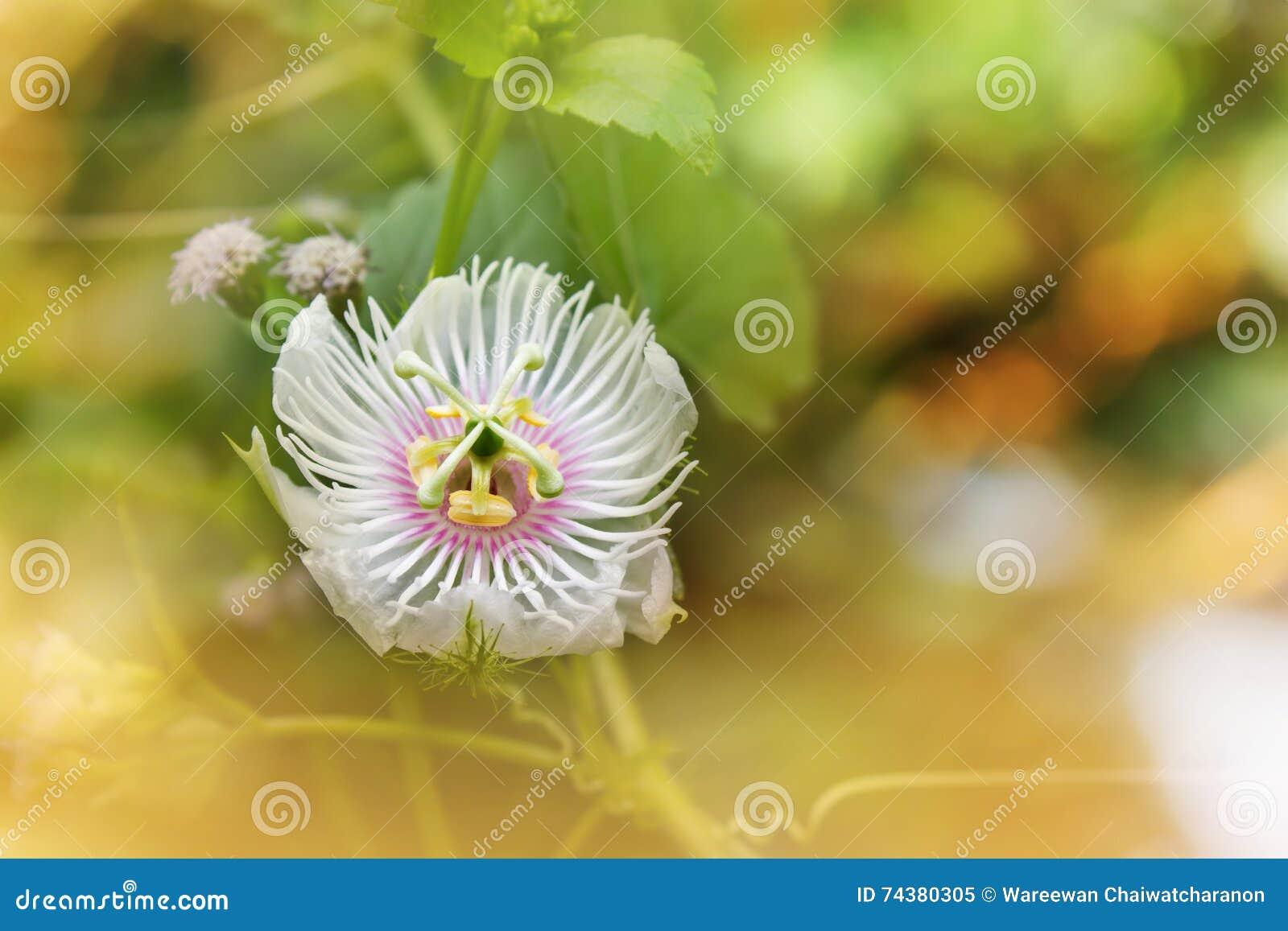 Fleur Blanche D Herbe Sauvage De Nature Romantique Passiflore Dans