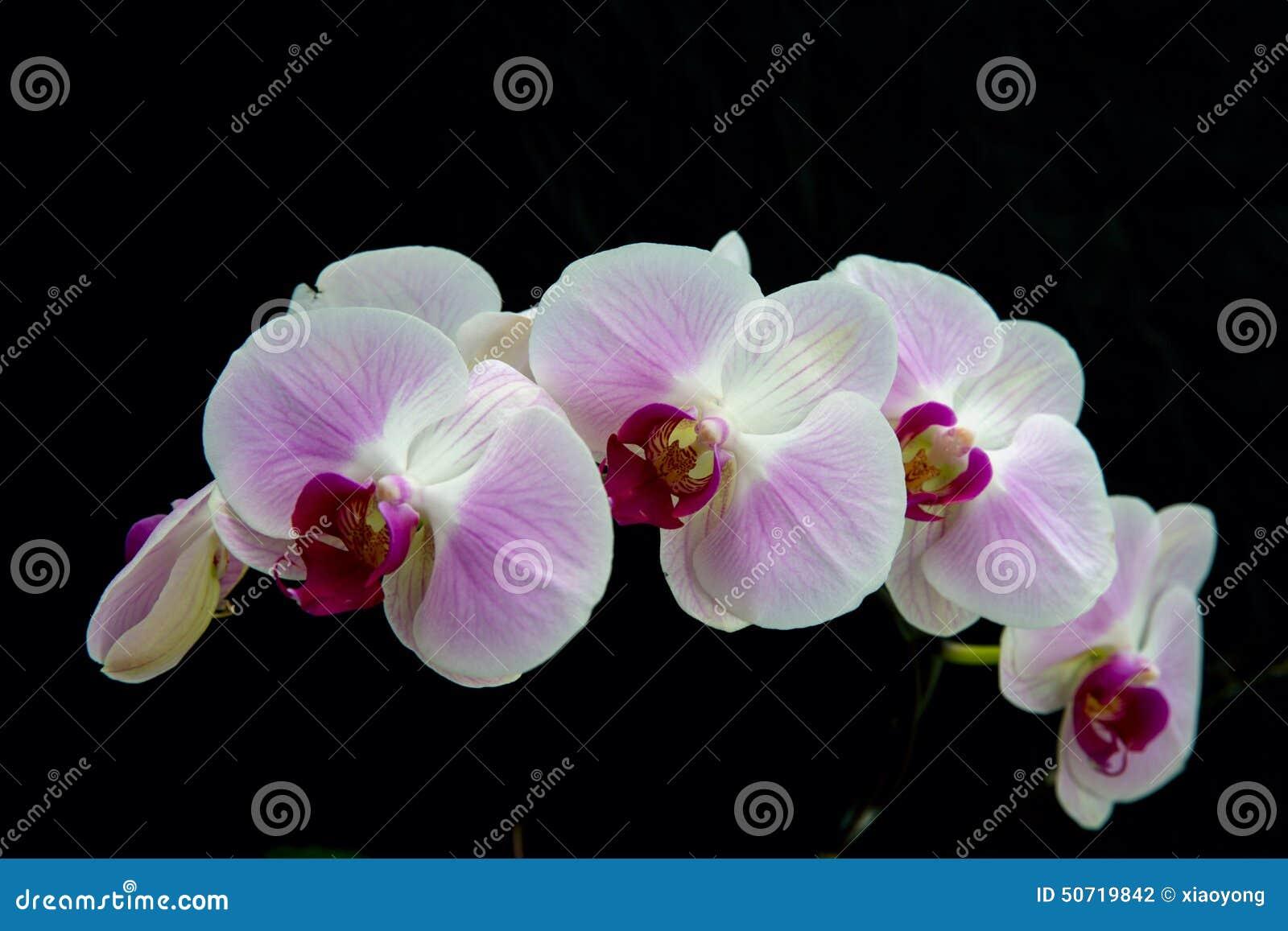 Fleur Blanche D Orchidee Avec Le Fond Noir Photo Stock Image Du