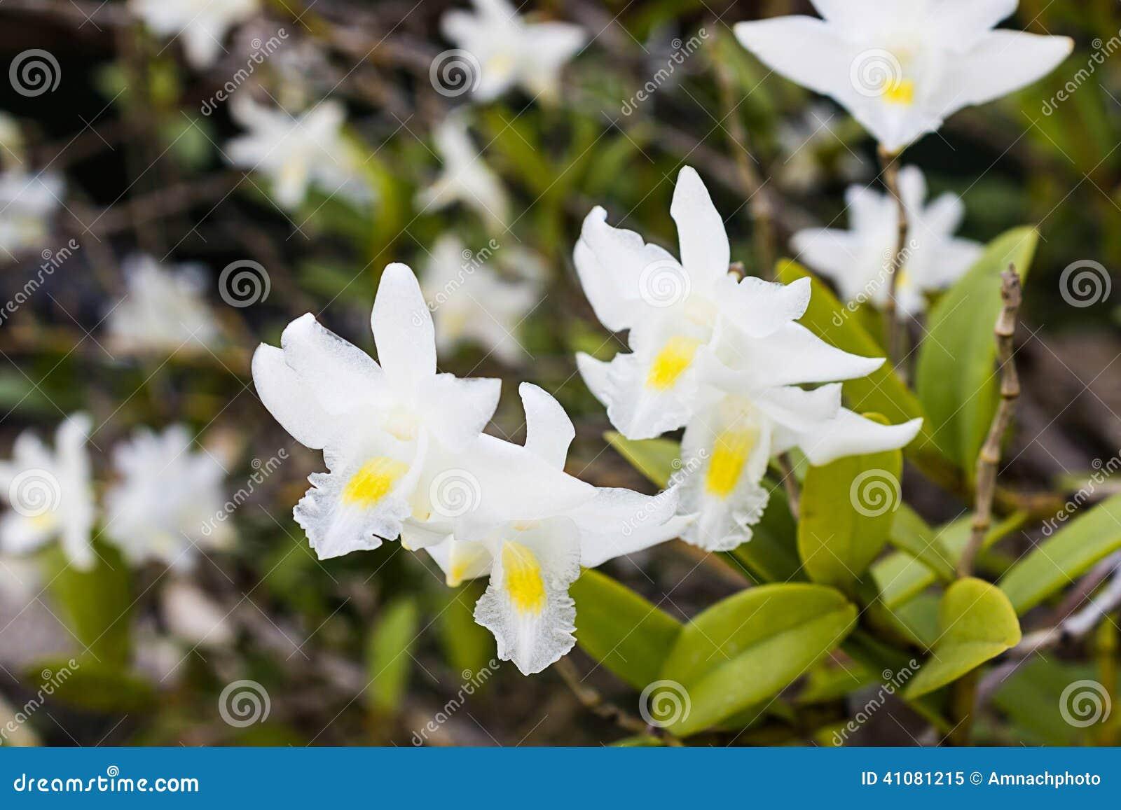 fleur blanche d 39 orchid e sur l 39 arbre crumenatum de dendrobium photo stock image 41081215. Black Bedroom Furniture Sets. Home Design Ideas