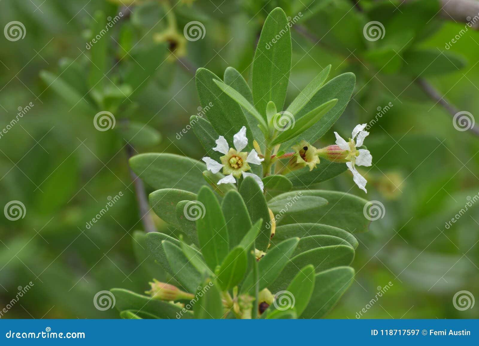 Fleur blanche d usine d ironwood