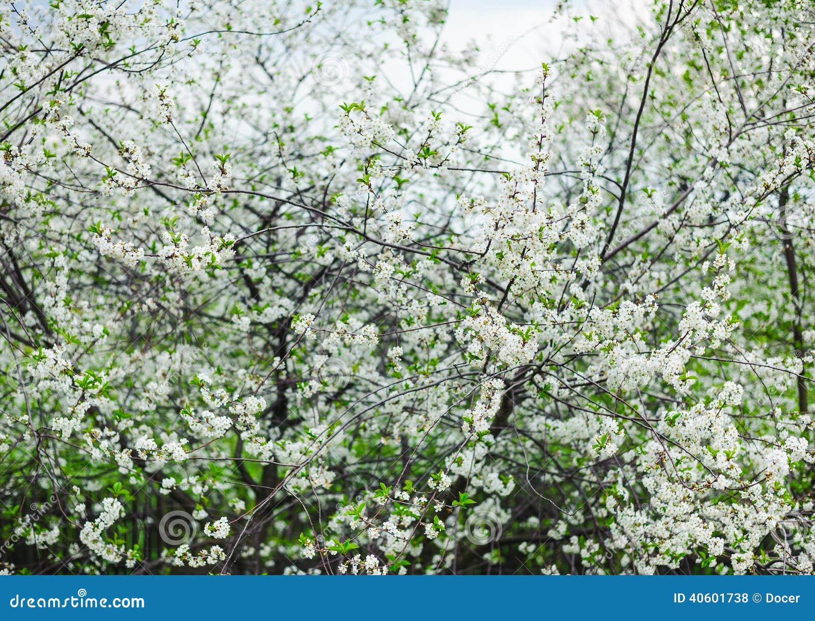 Fleur blanche de cerisier dans un jardin photo stock for Fleurs dans un jardin