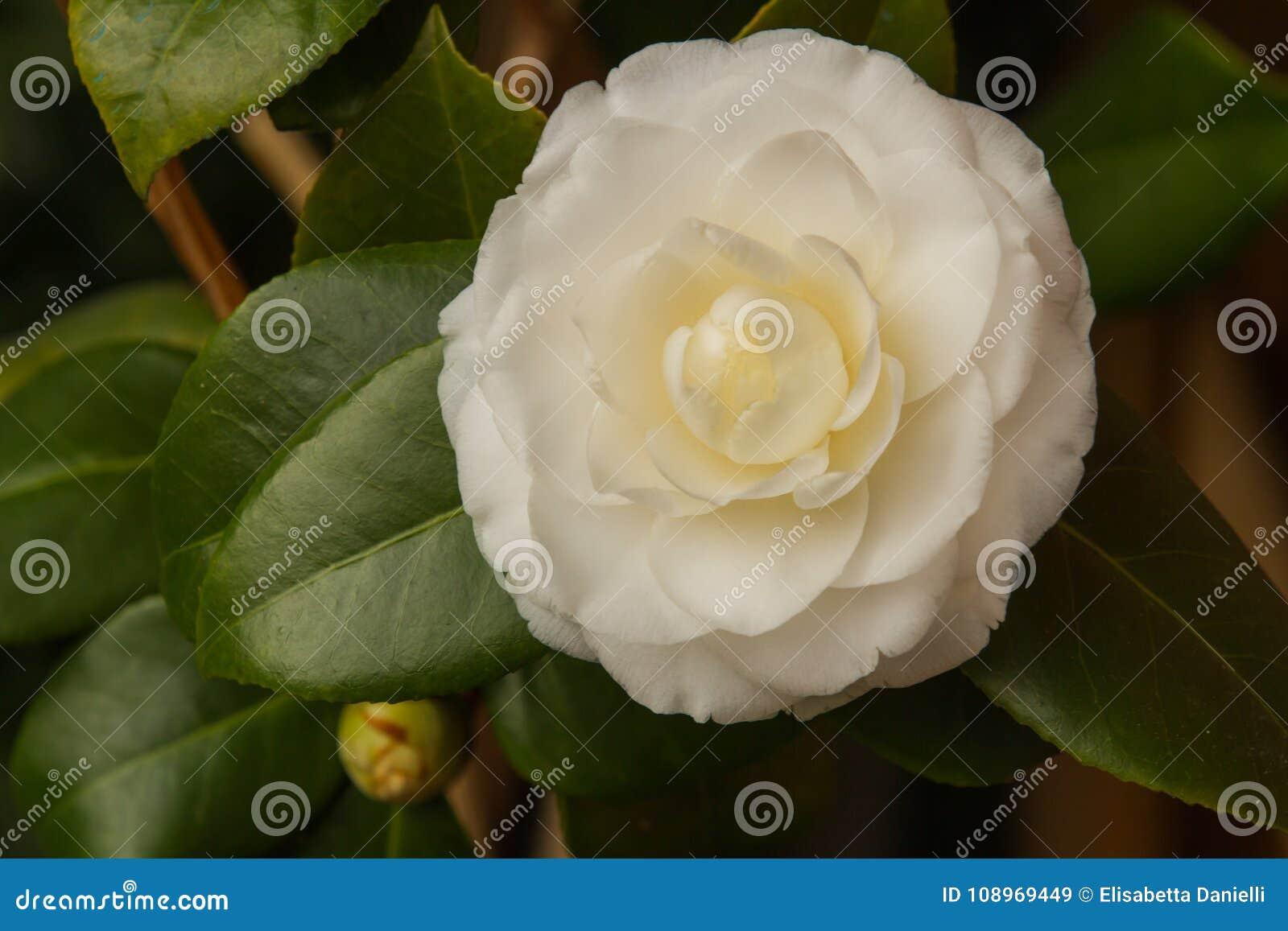 Fleur Blanche De Cognassier Du Japon De Camelia Hiver En Retard