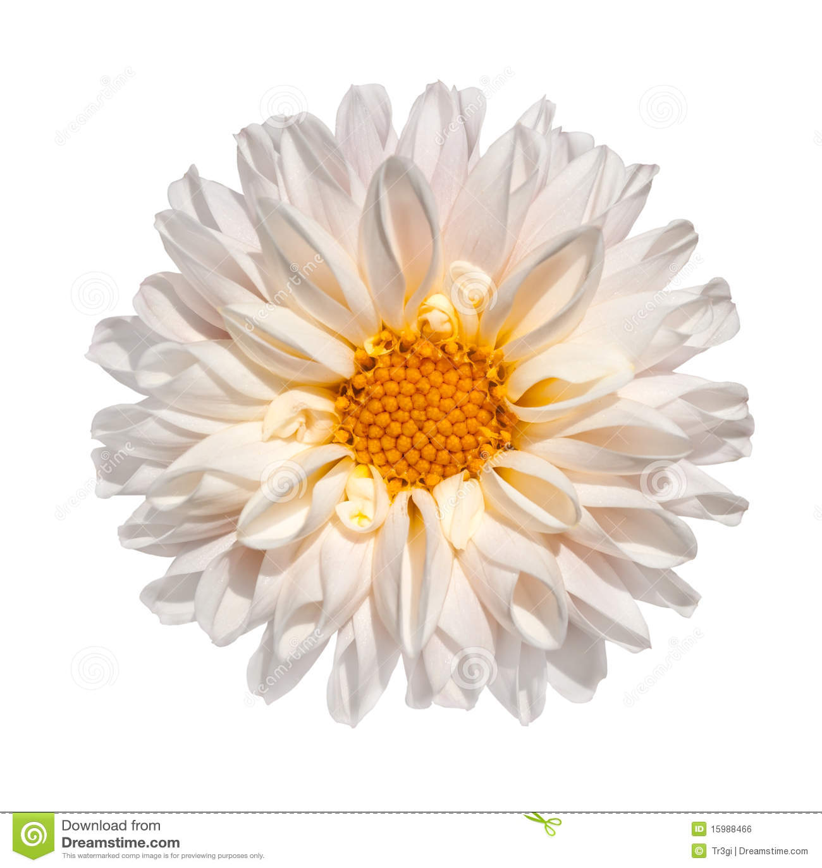 fleur blanche de dahlia avec le centre jaune d'isolement image