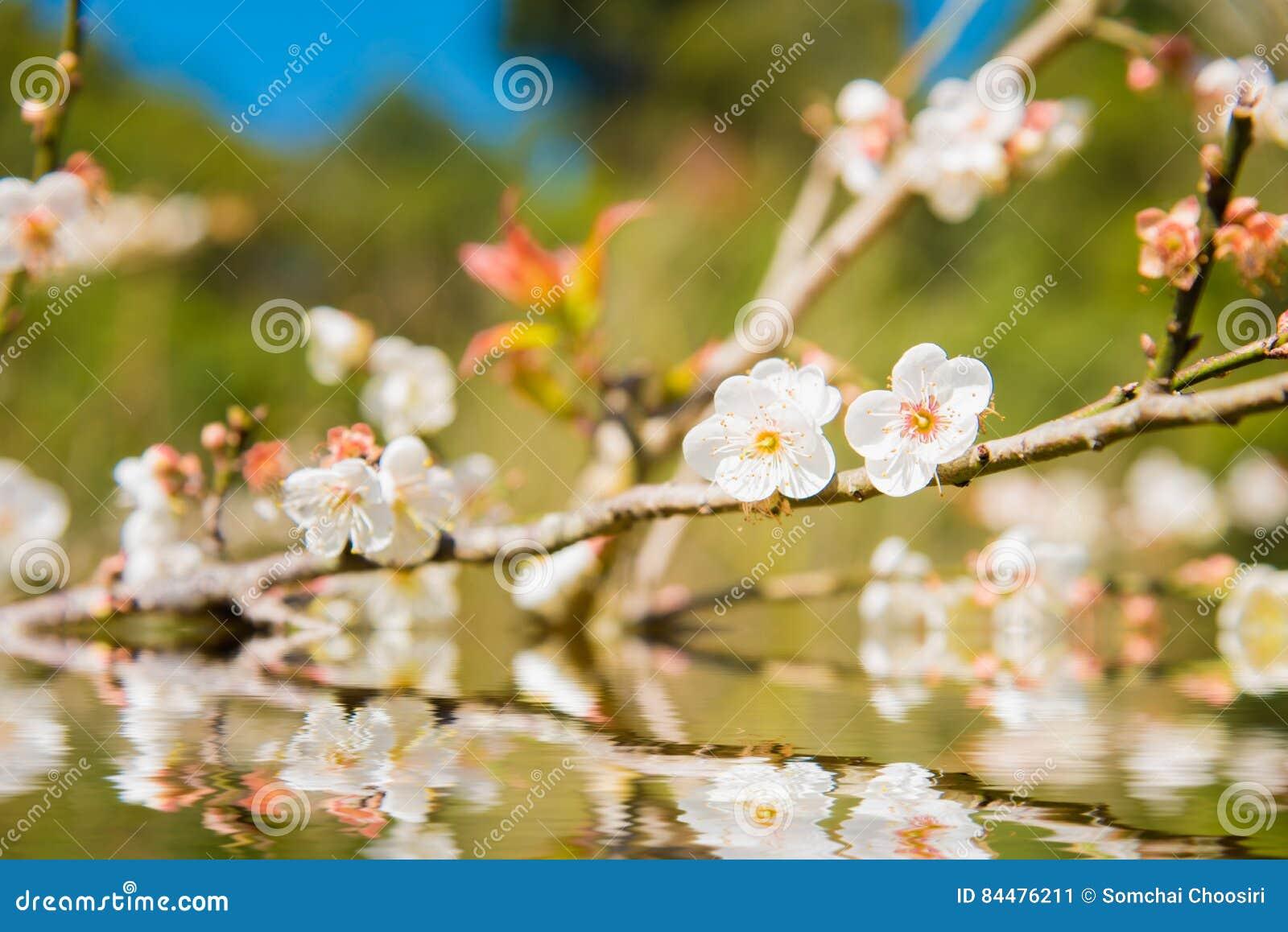 Fleur Blanche De Fleur De Peche Image Stock Image Du Chinois