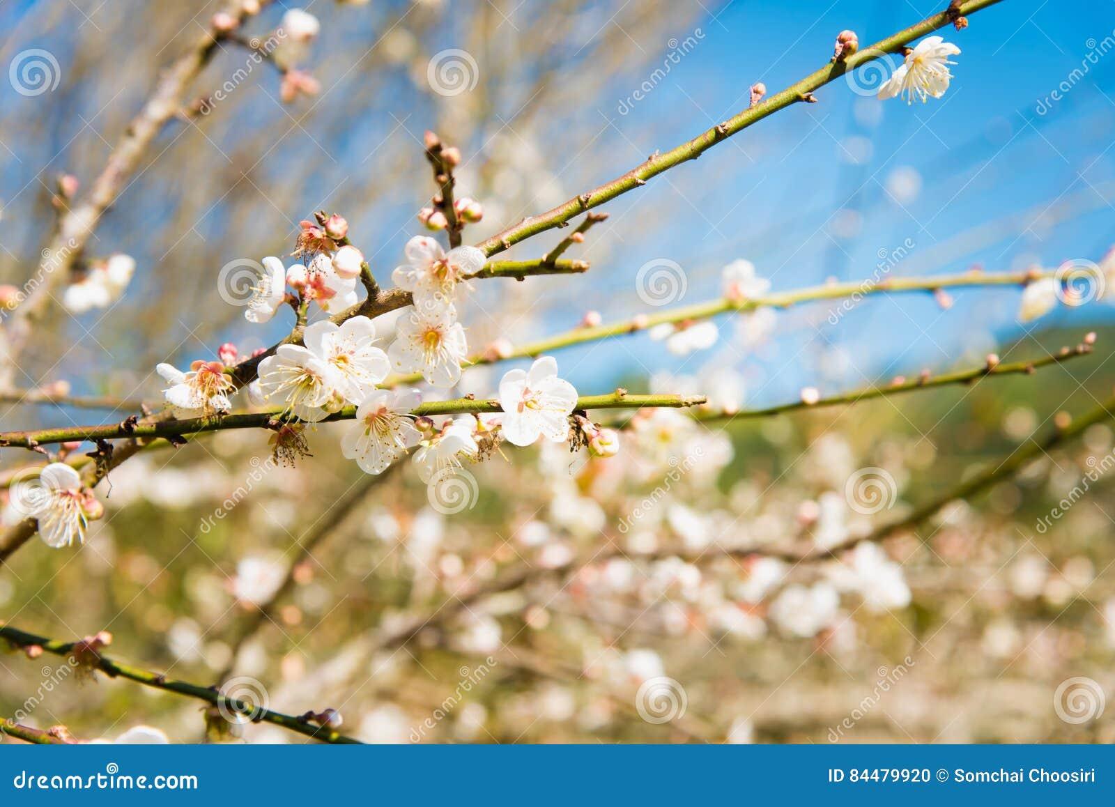 Fleur Blanche De Fleur De Peche Fleur De Prune Photo Stock Image