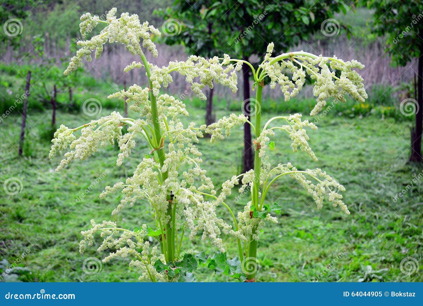 Fleur Blanche De Fleur De Rhubarbe Dans Le Jardin Image Stock