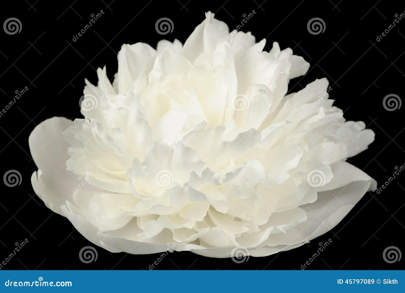 fleur blanche de pivoine sur le fond noir photo stock image 45797089. Black Bedroom Furniture Sets. Home Design Ideas