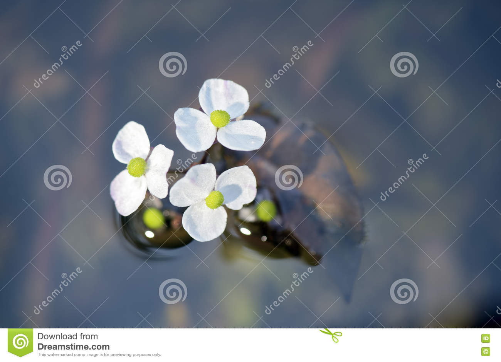 Fleur Blanche De Plante Aquatique Sur Le Lac Bleu Opaque Image Stock