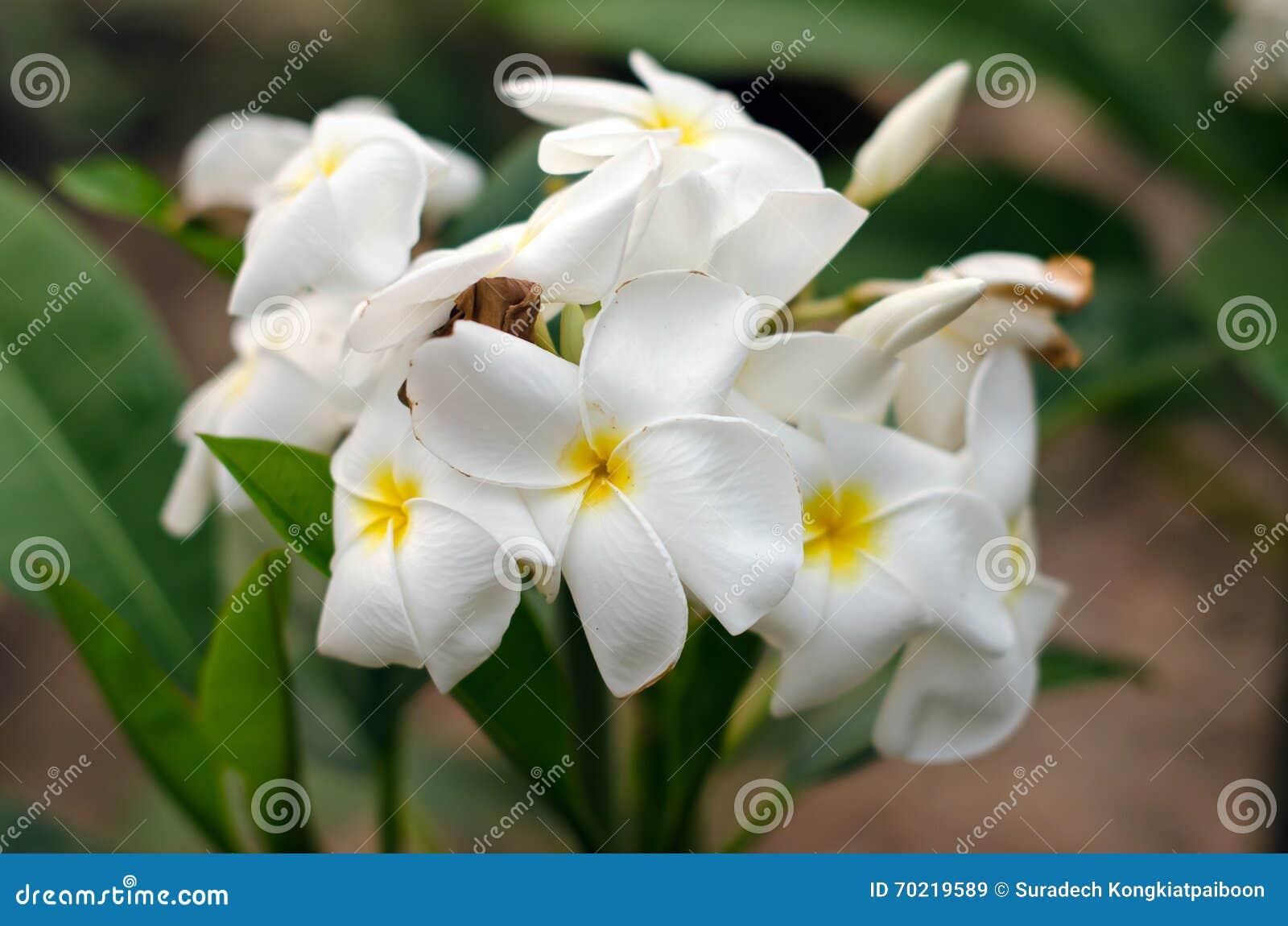 Fleur Blanche De Plumeria Nom Plumerieae P De La Science Rubra