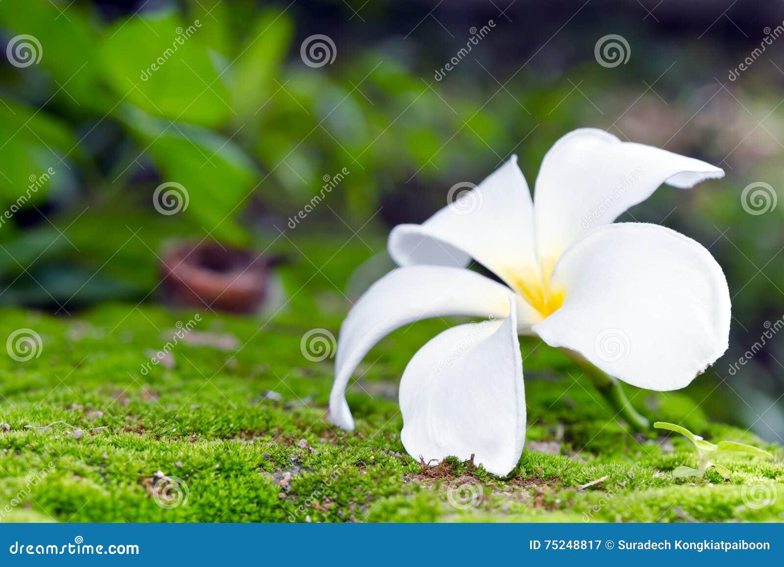 Fleur Blanche De Plumeria Sur Le Fond De Mousse Et De Bokeh D