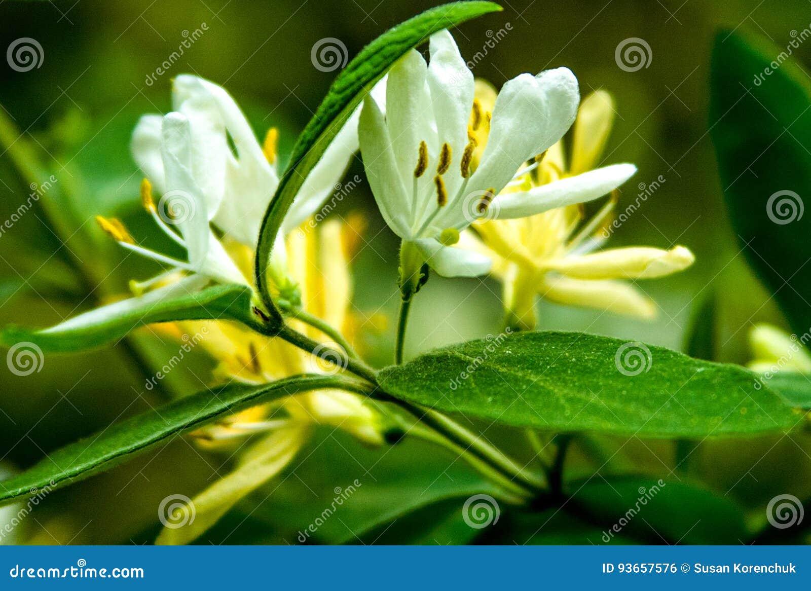 Fleur blanche de ressort prise au parc d état de crique de collines