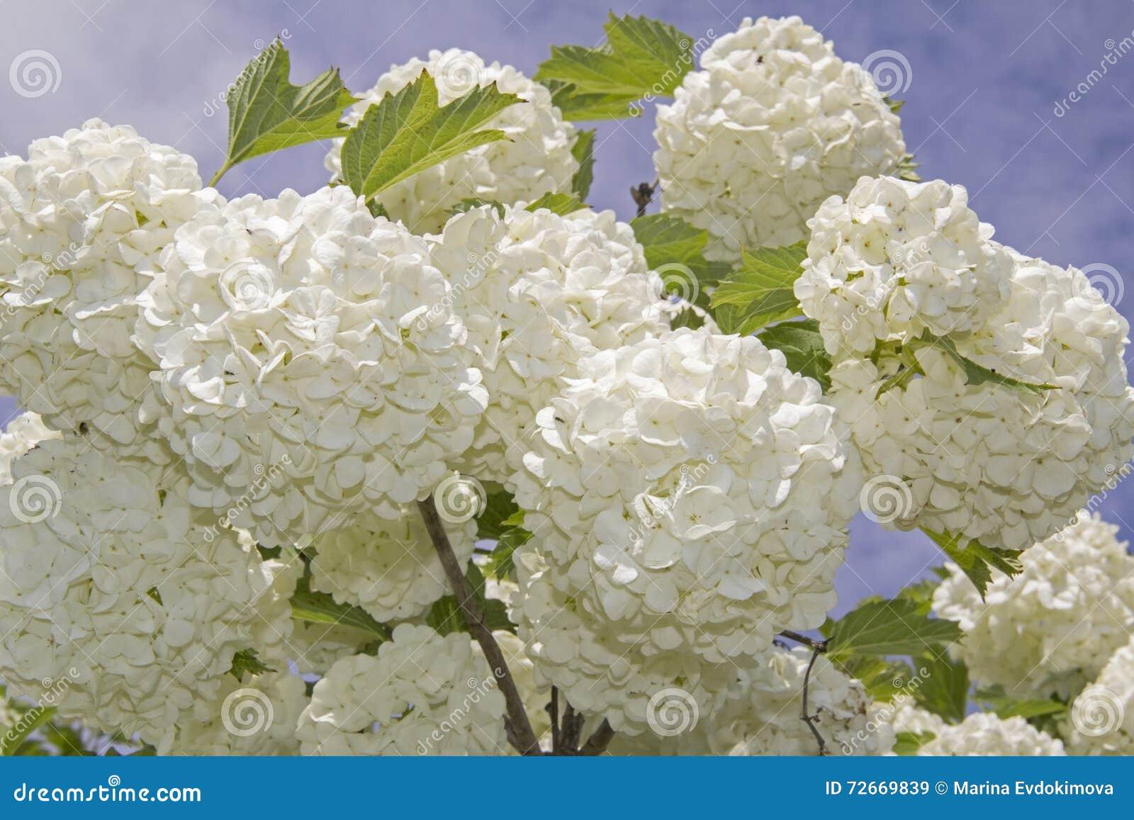 Fleur Blanche Du Viburnum Buldenezh De Boule De Neige En Fleur Image