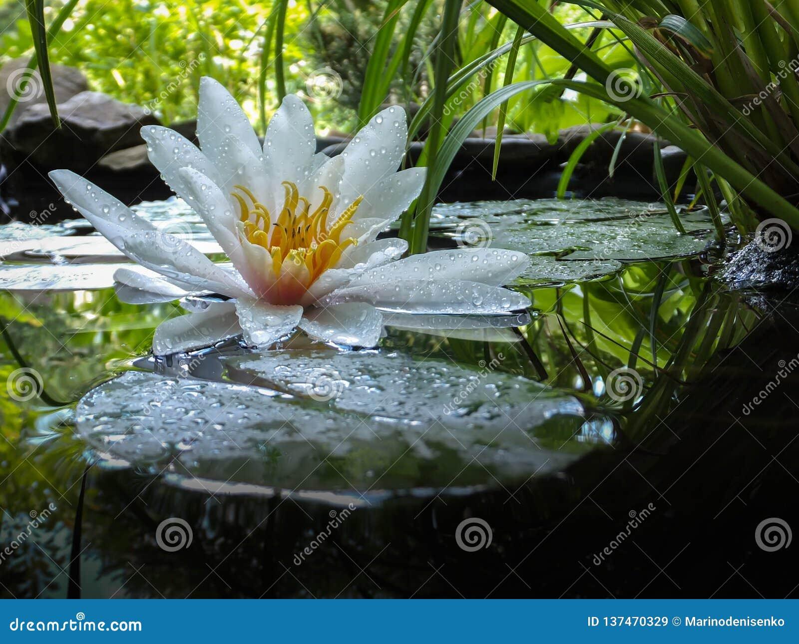 Fleur blanche en gros plan magique de nénuphar ou de lotus Marliacea Rosea dans le miroir d étang avec les feuilles vertes Pétale