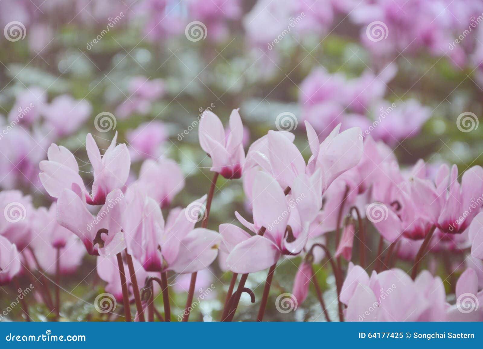 fleur blanche et rose image stock image du fond. Black Bedroom Furniture Sets. Home Design Ideas