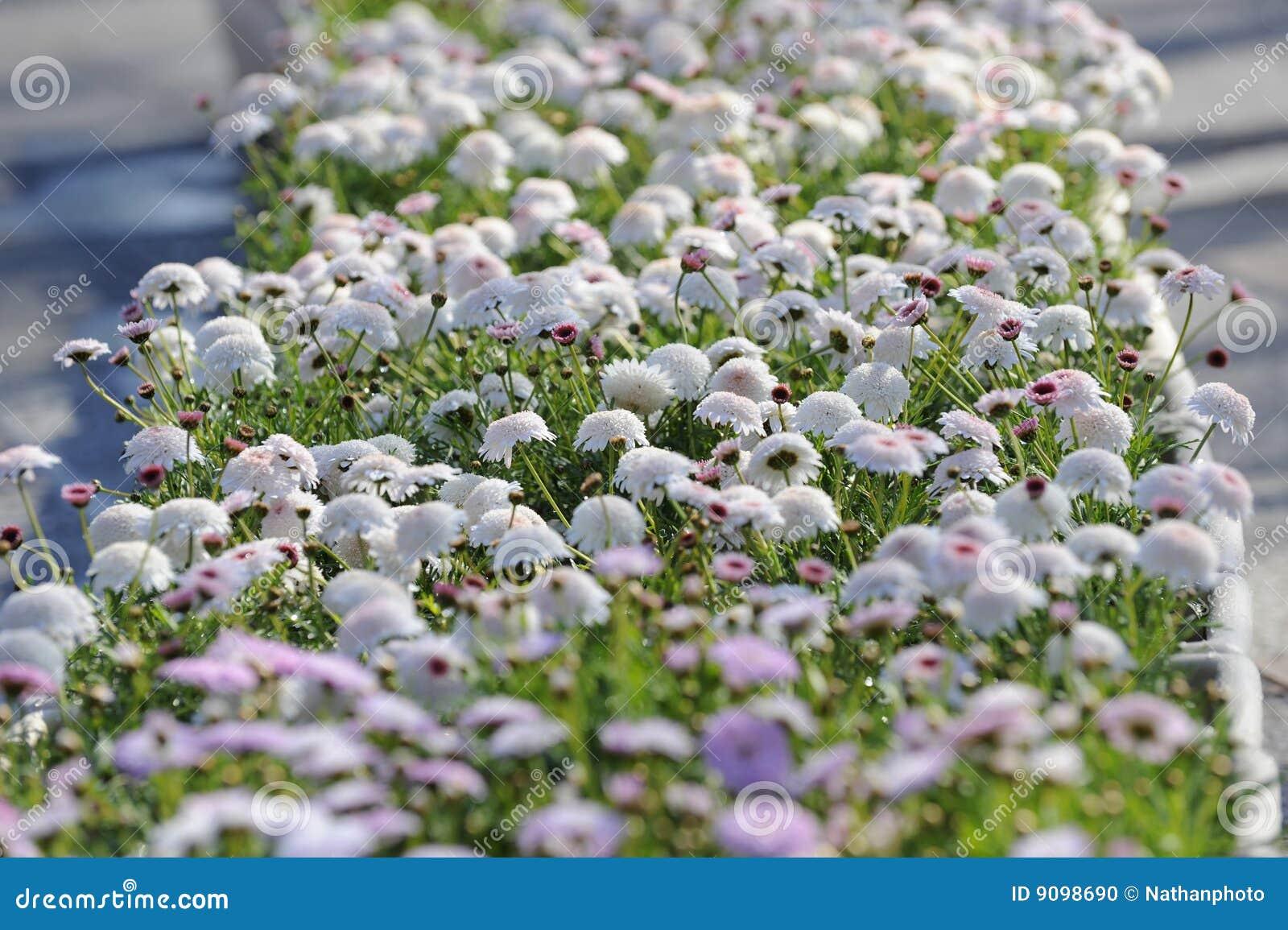 fleur blanche et rose photo stock image du t nature. Black Bedroom Furniture Sets. Home Design Ideas