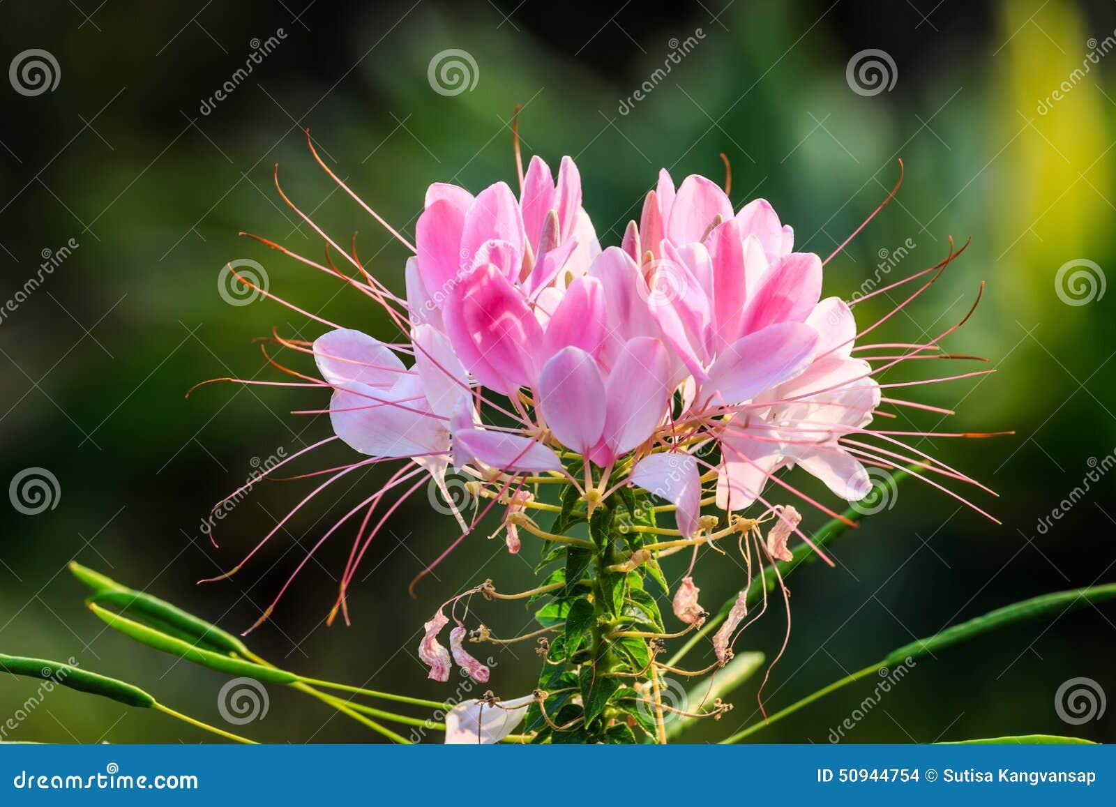 fleur blanche et rose de cleome photo stock - image: 50944754