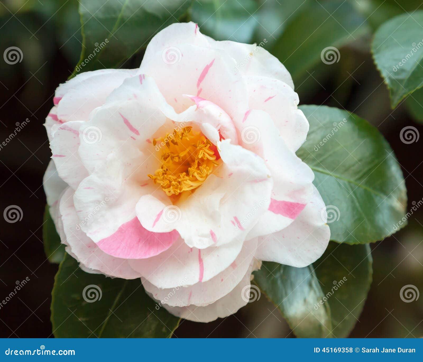 fleur blanche et rose du cognassier du japon de camélia 'tricolore