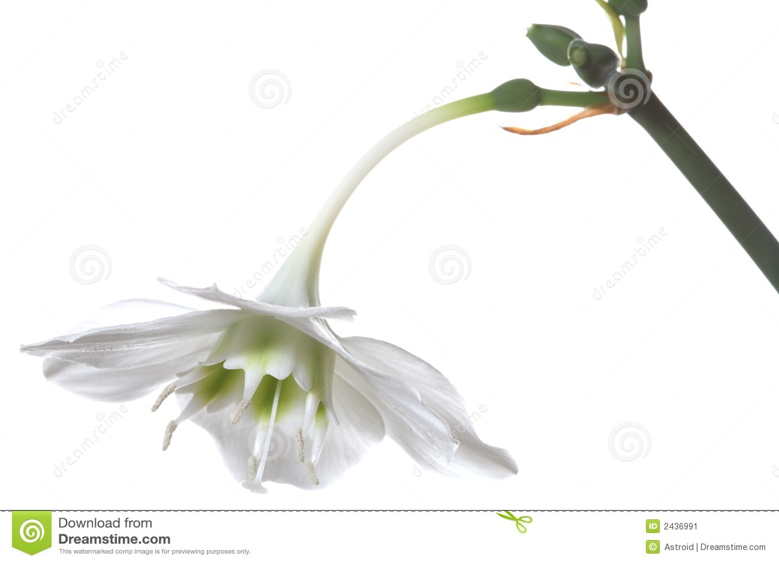 Fleur blanche gentille image stock image 2436991 - Fleur blanche longue tige ...