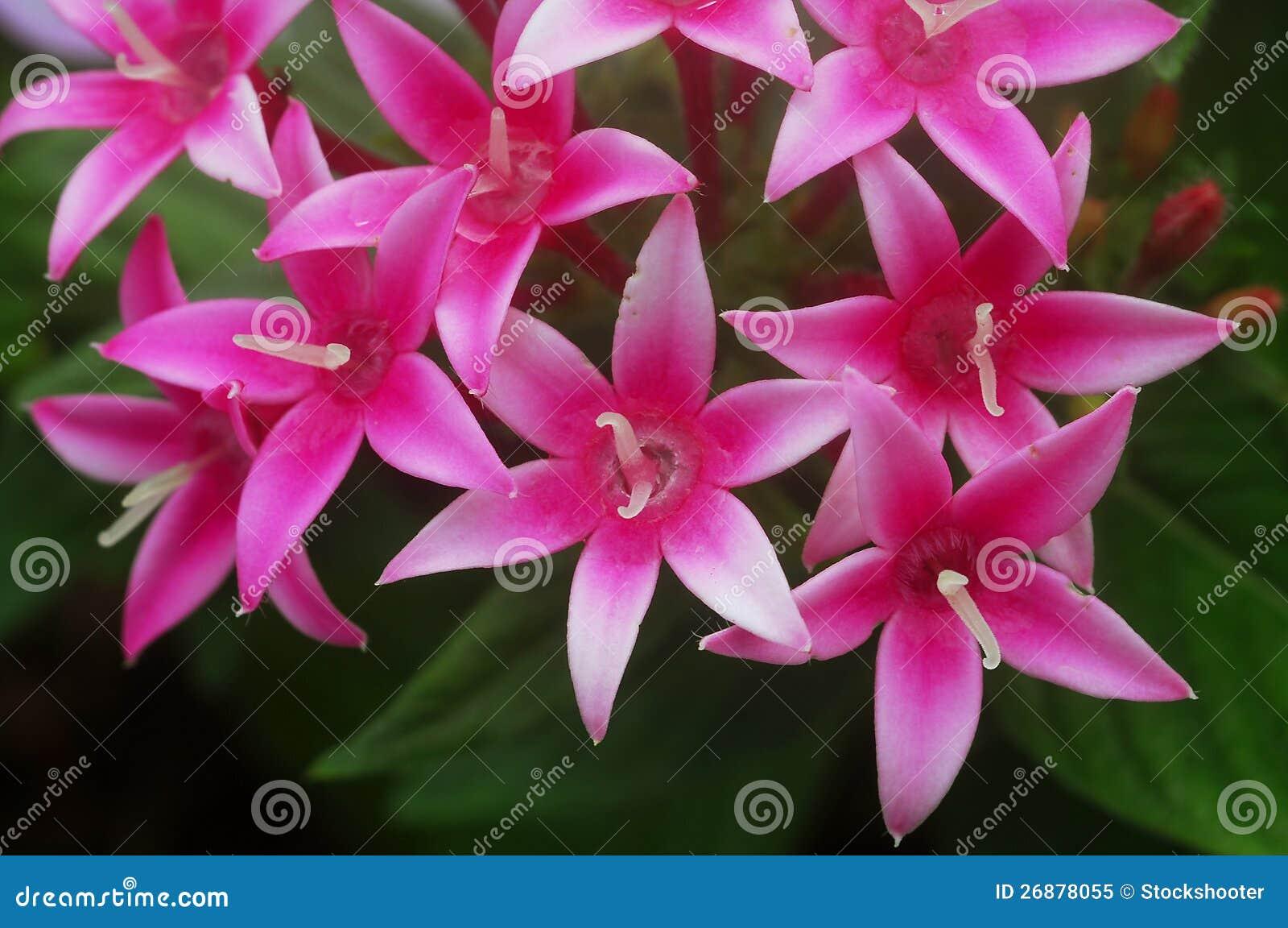 fleur blanche rose de pentas photo libre de droits - image: 26878055