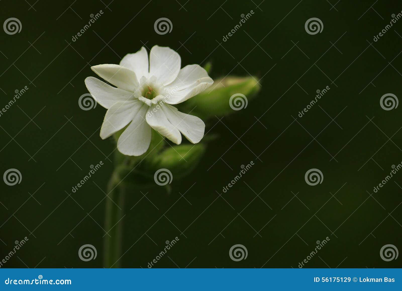 Fleur Blanche Sambac De Jasminum Sampaguita Image Stock Image