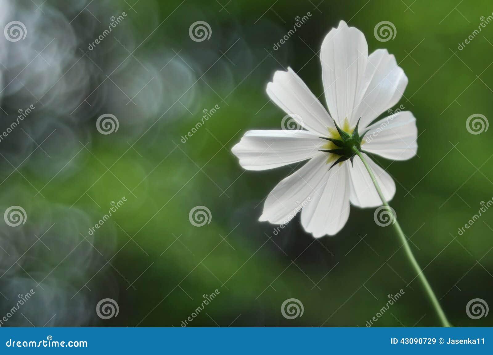 Fleur blanche simple de cosmo