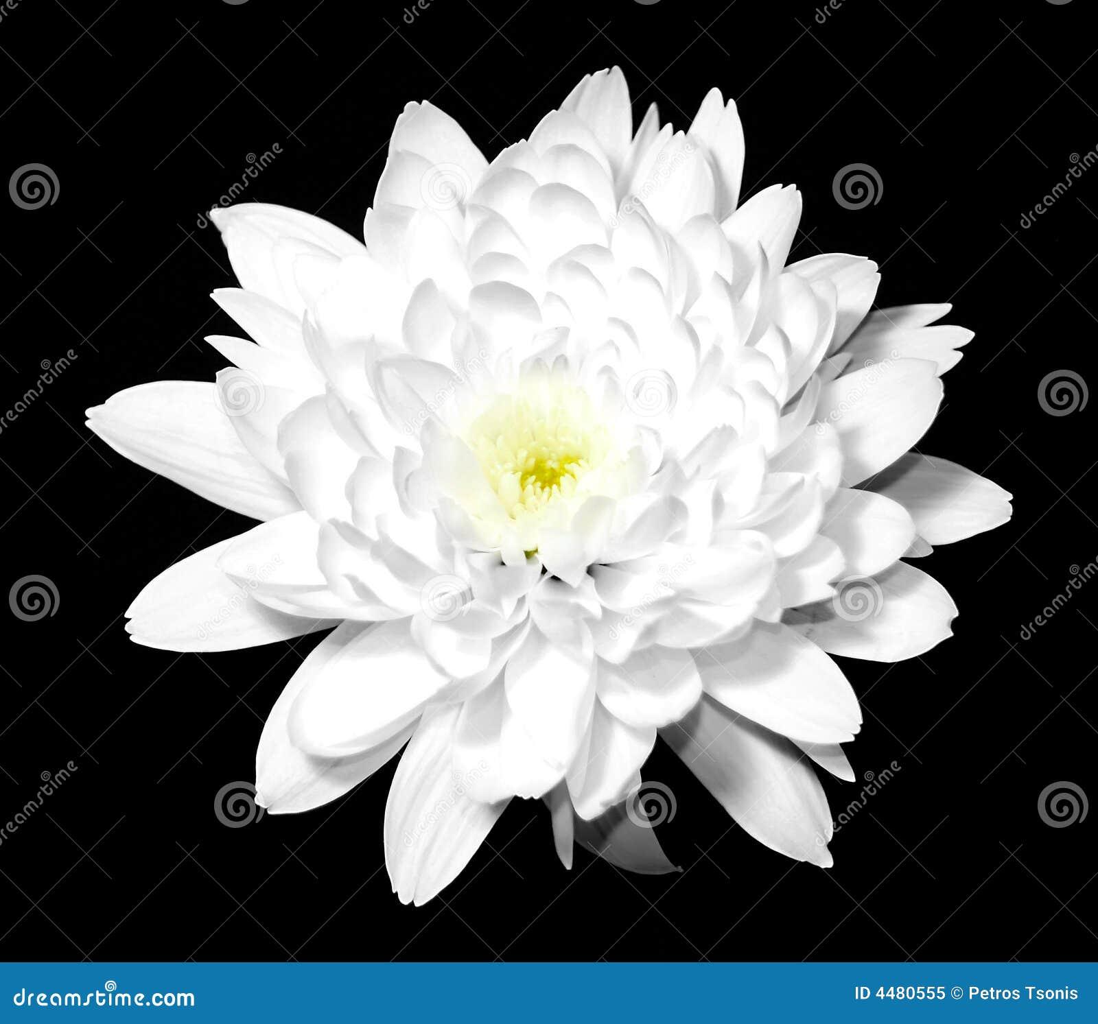 Caractère et personnalité de ceux qui aiment la couleur blanche Fleur-blanche-sur-le-noir-4480555