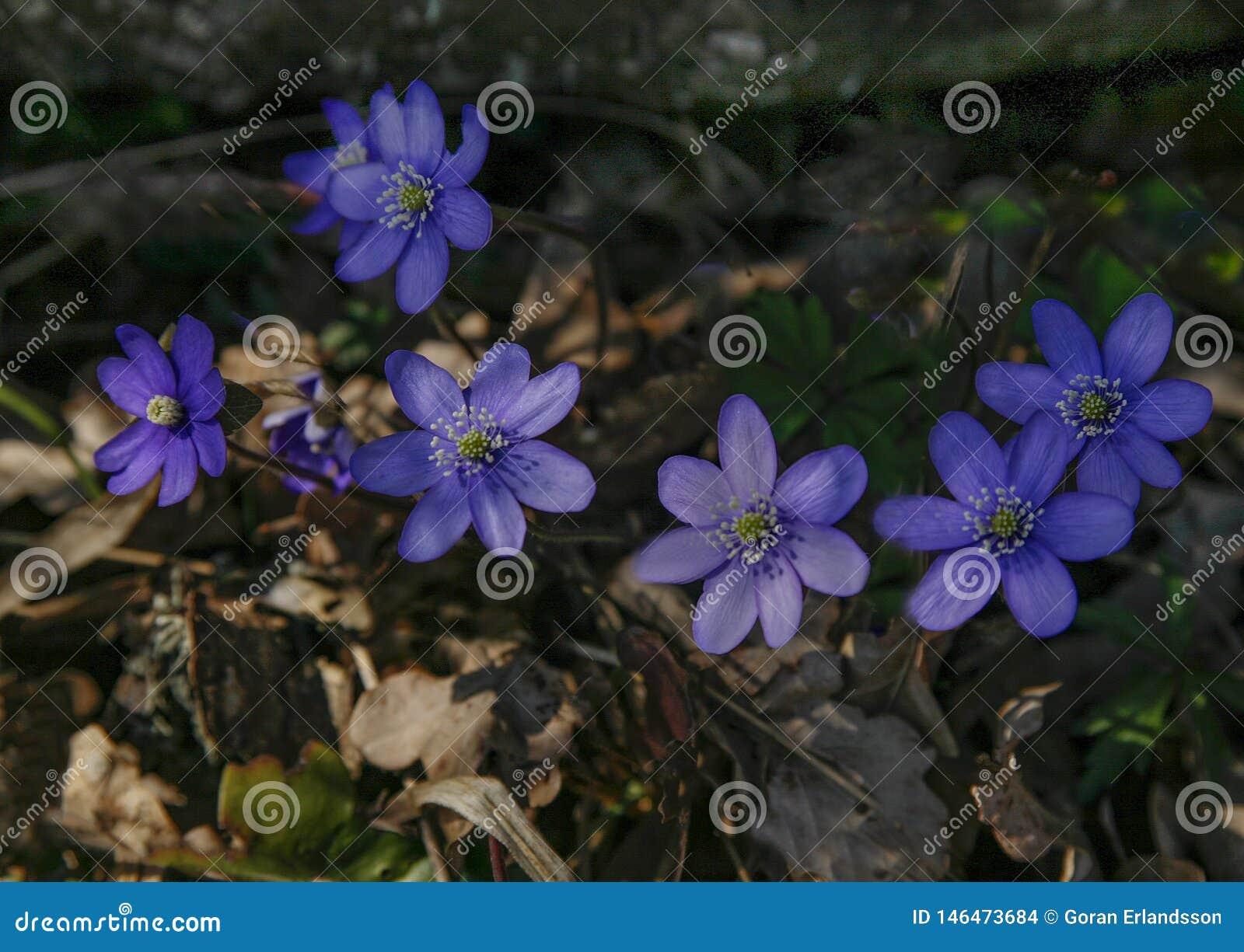 Fleur bleue avec avec le pistil