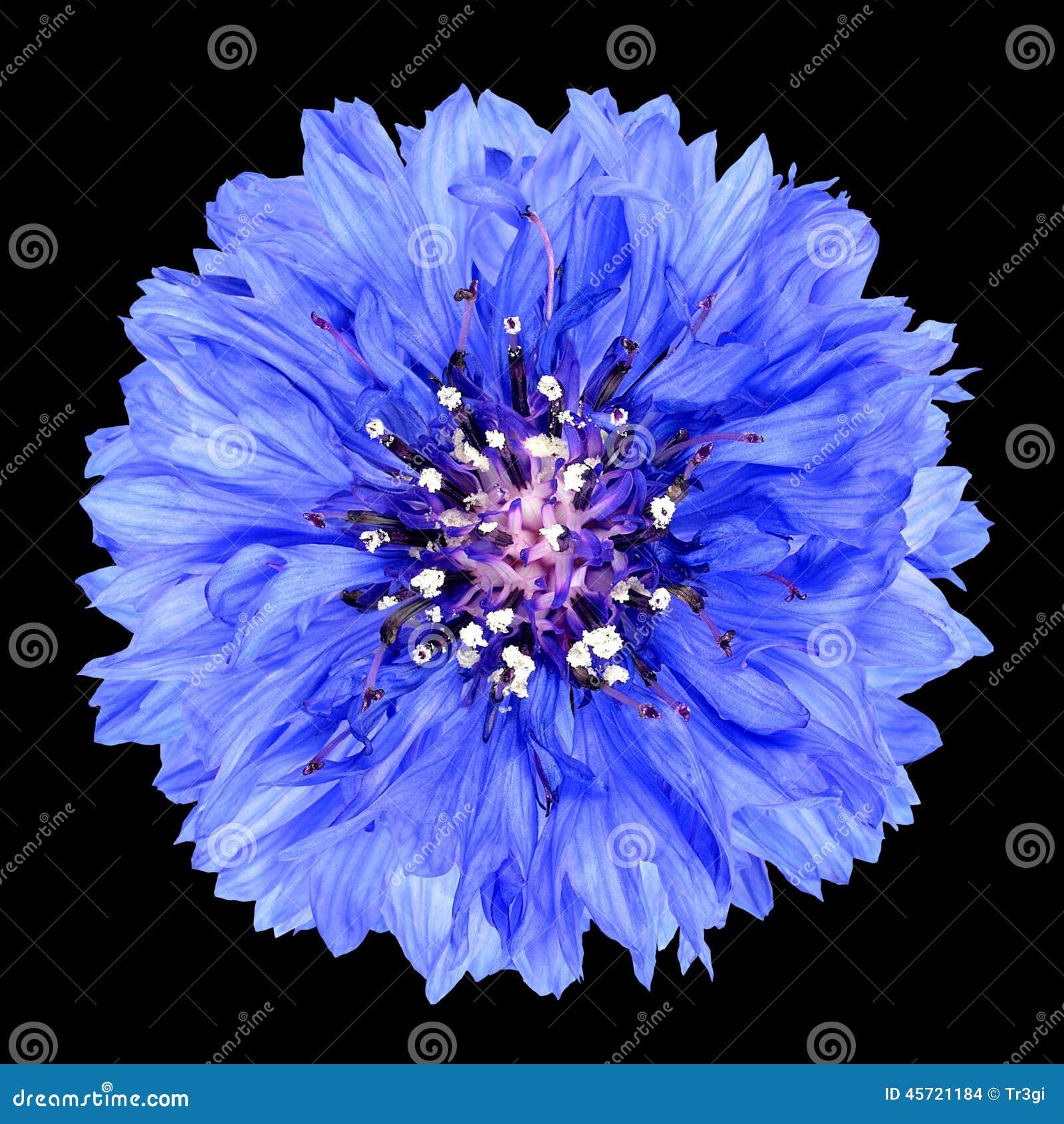 fleur bleue de bleuet d 39 isolement sur le fond noir photo stock image 45721184. Black Bedroom Furniture Sets. Home Design Ideas