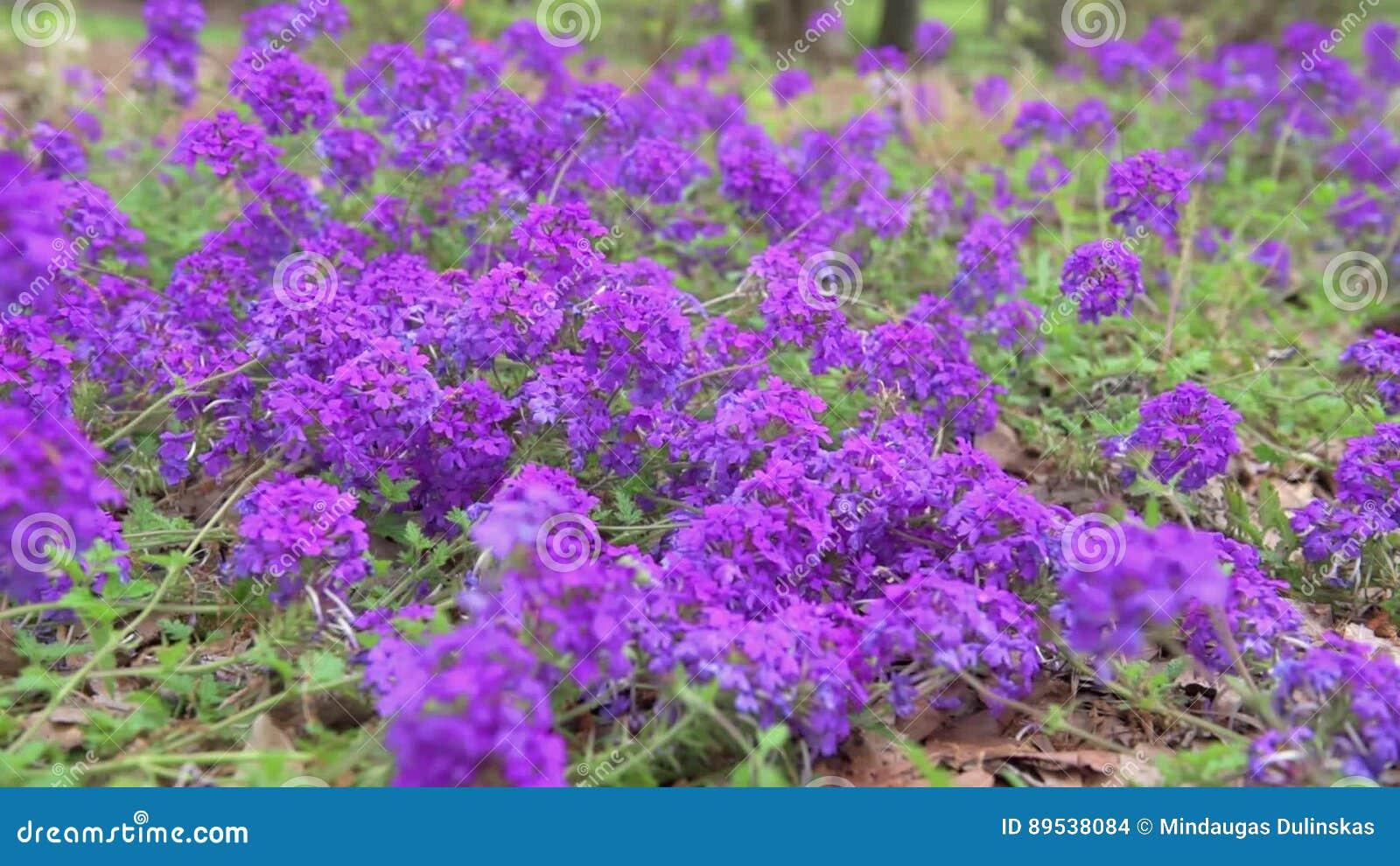 Fleur Bleue De Floraison Dans Le Jardin Verveine X Hybrida, Verveine ...