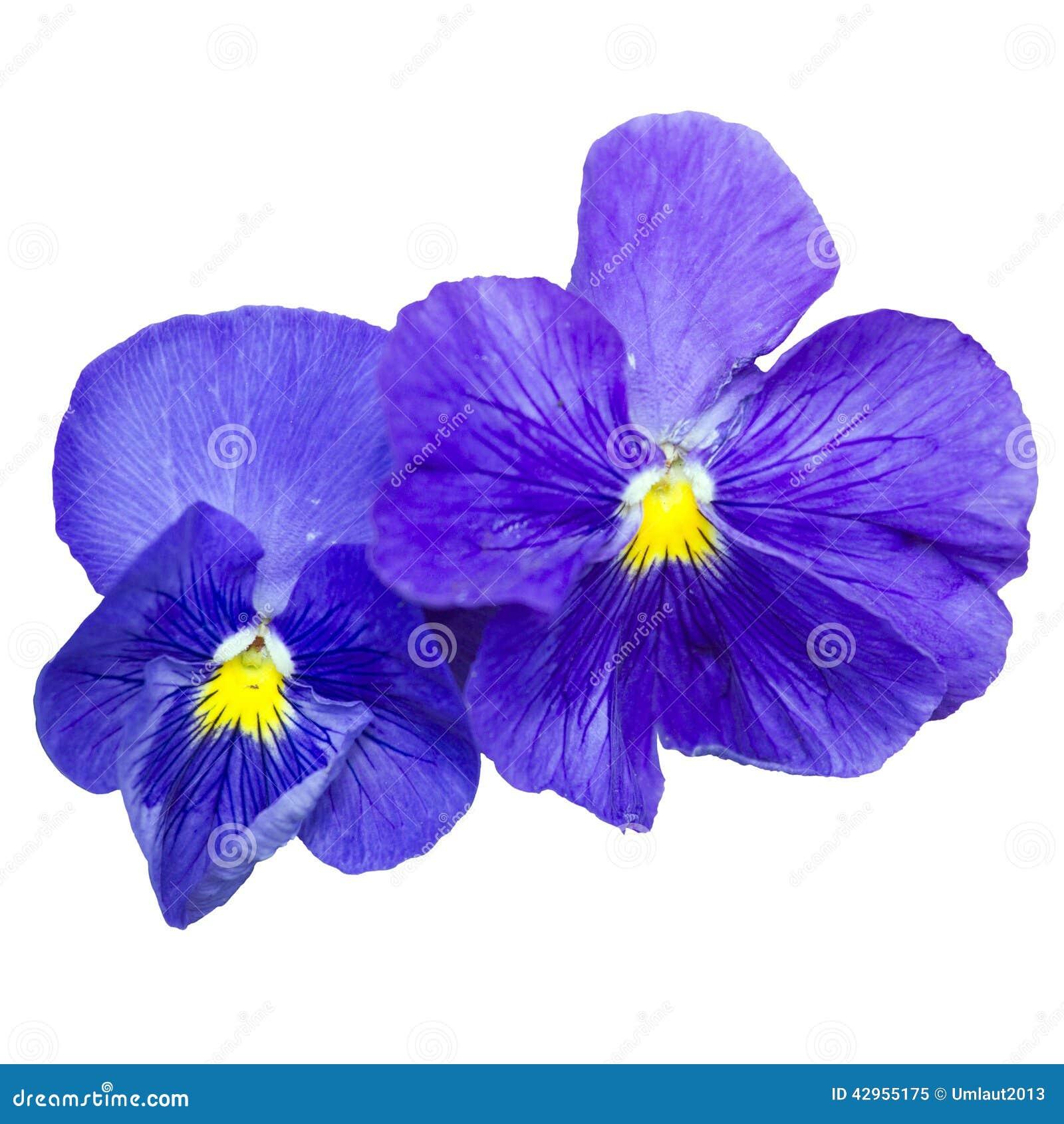 Fleur Bleue De Jardin Sur Un Fond Blanc Image Stock
