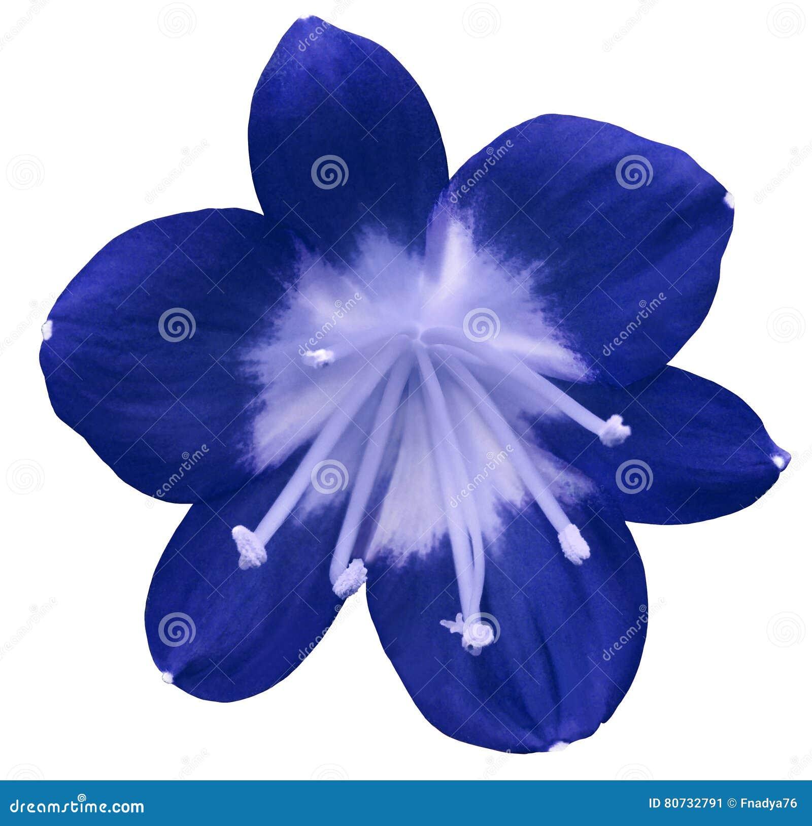 fleur bleue de lis d 39 isolement avec le chemin de coupure sur un fond blanc pistils bleu clair. Black Bedroom Furniture Sets. Home Design Ideas