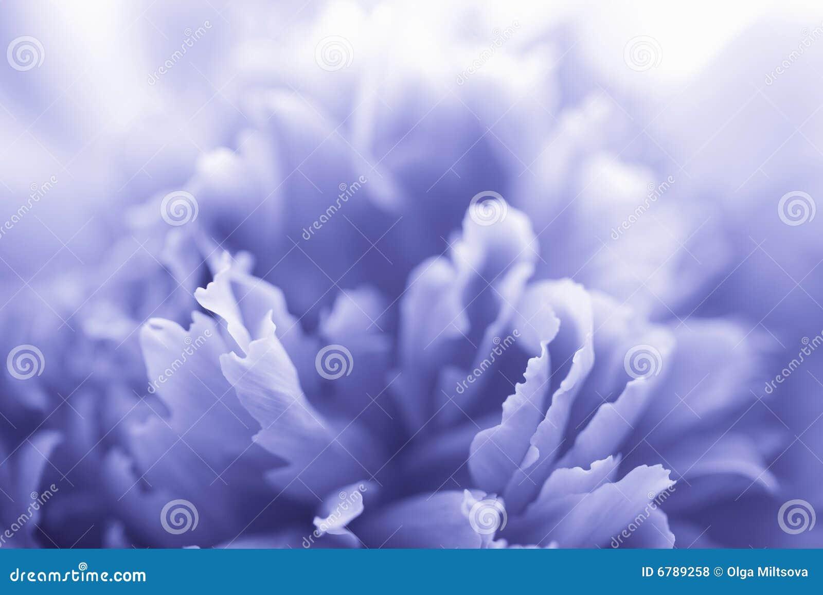 Fleur bleue de pivoine