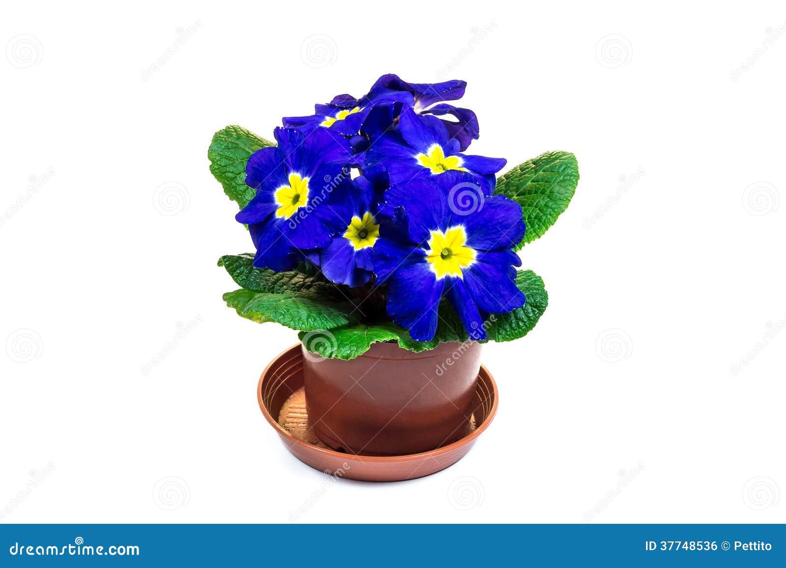 fleur bleue de primev re dans le pot de fleur image libre de droits image 37748536. Black Bedroom Furniture Sets. Home Design Ideas