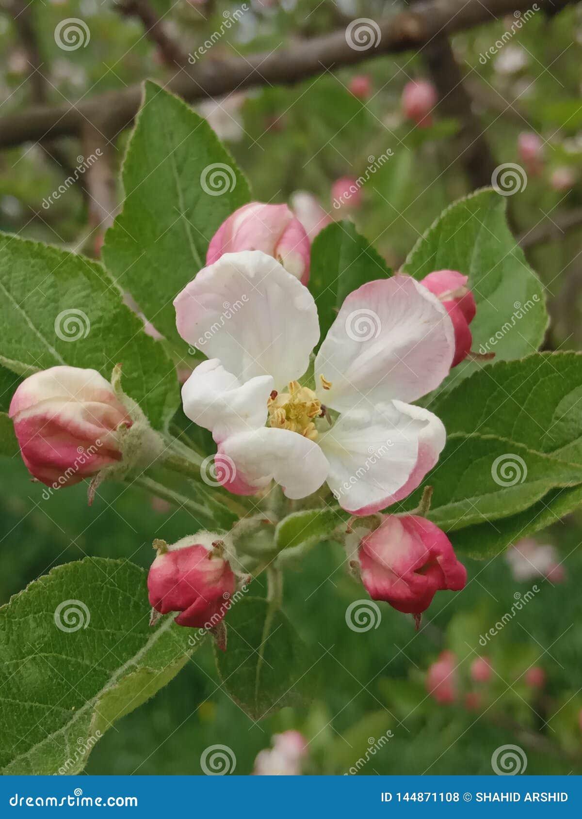Fleur cachemirienne d APPLE