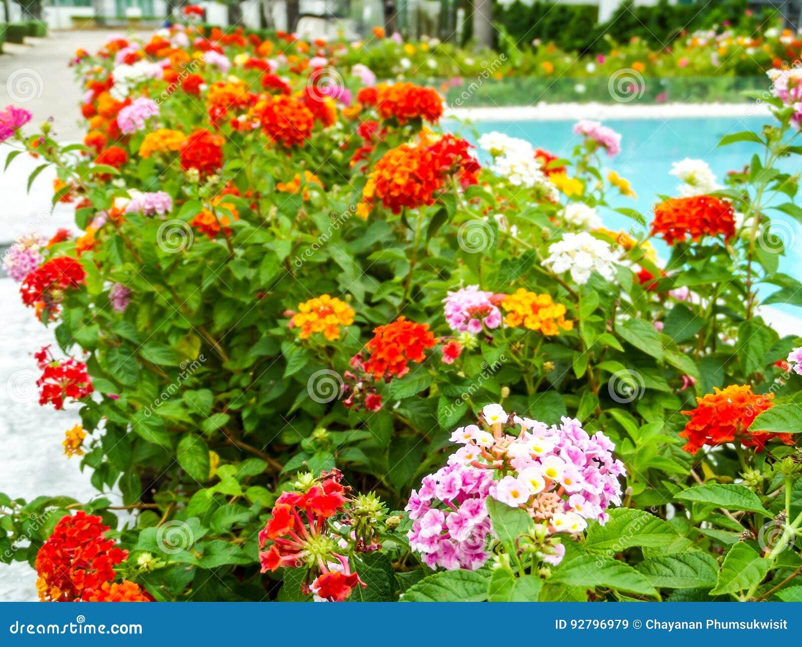 Fleur Colorée De Beauté De Ton De Lantana Entre La Piscine ...