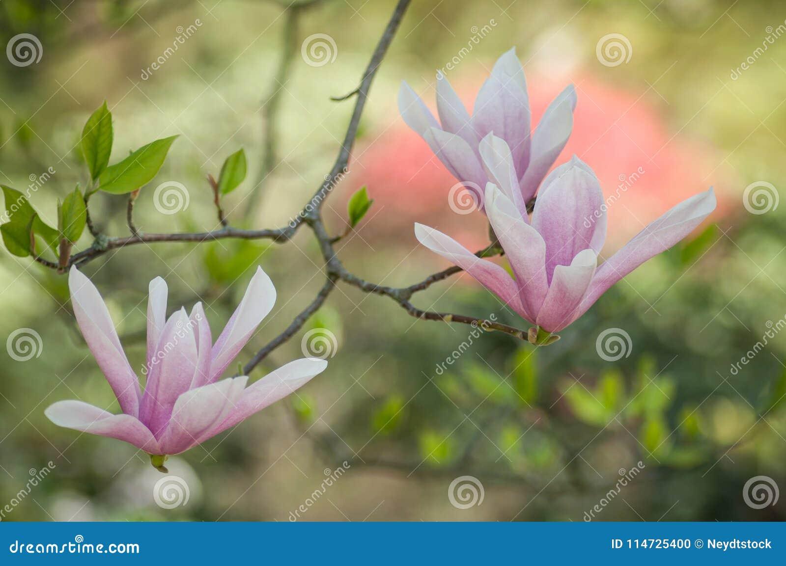 Fleur cor-de-rosa da magnólia na mola
