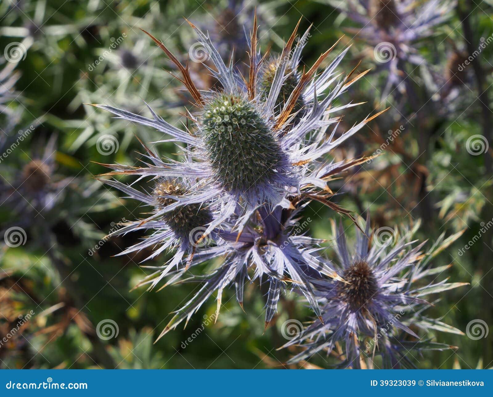 Fleur d 39 cossais de chardon photo stock image 39323039 - Le chardon d ecosse ...