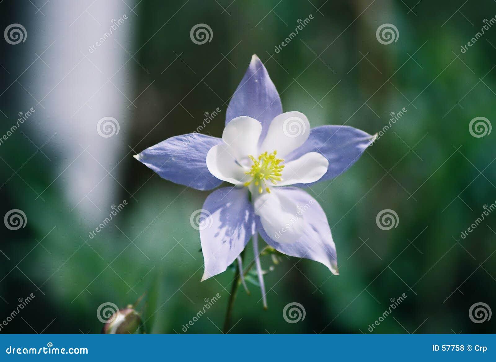 Download Fleur d'état du Colorado photo stock. Image du doux, pétales - 57758