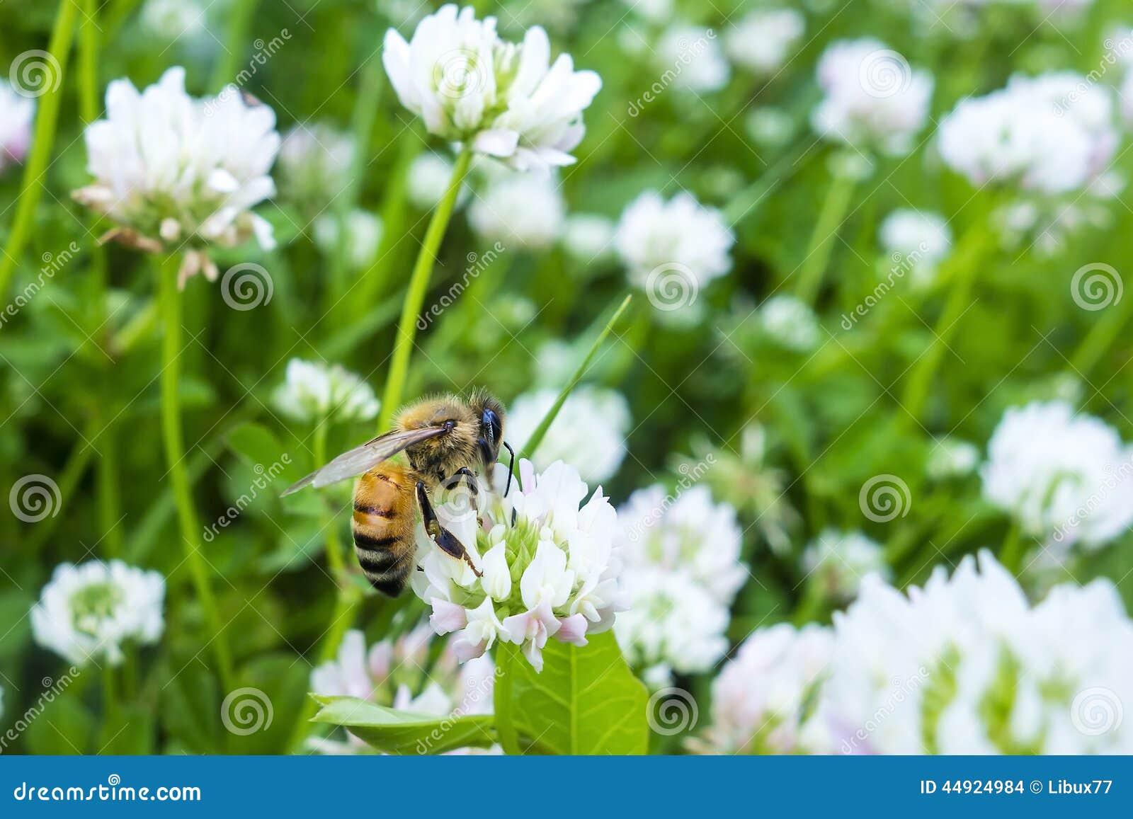 fleur d 39 abeille rassemblant le blanc vert de pollen photo stock image 44924984. Black Bedroom Furniture Sets. Home Design Ideas