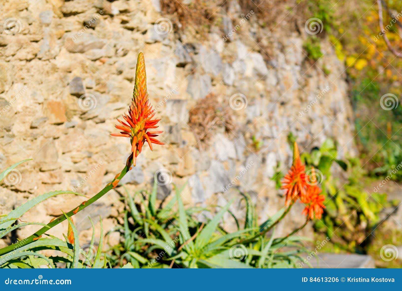 fleur d 39 agave en fleur fin photo stock image du herbe frais 84613206. Black Bedroom Furniture Sets. Home Design Ideas