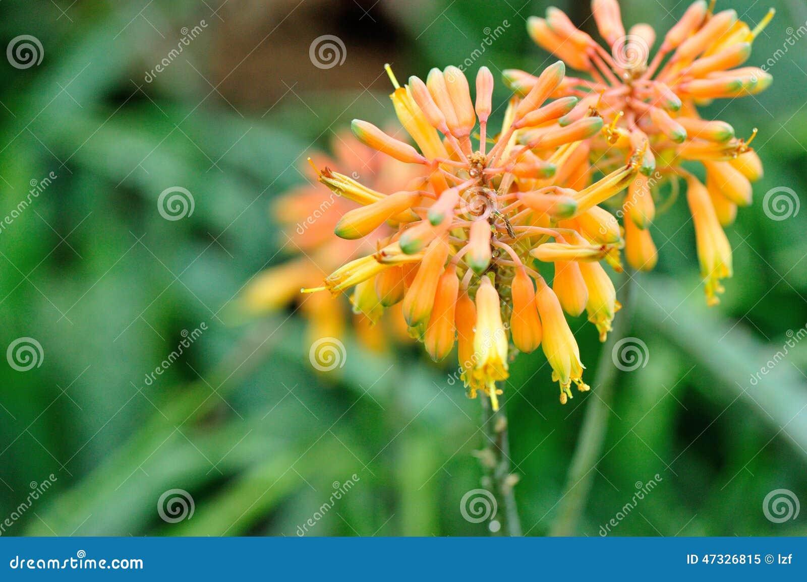 Fleur d aloès