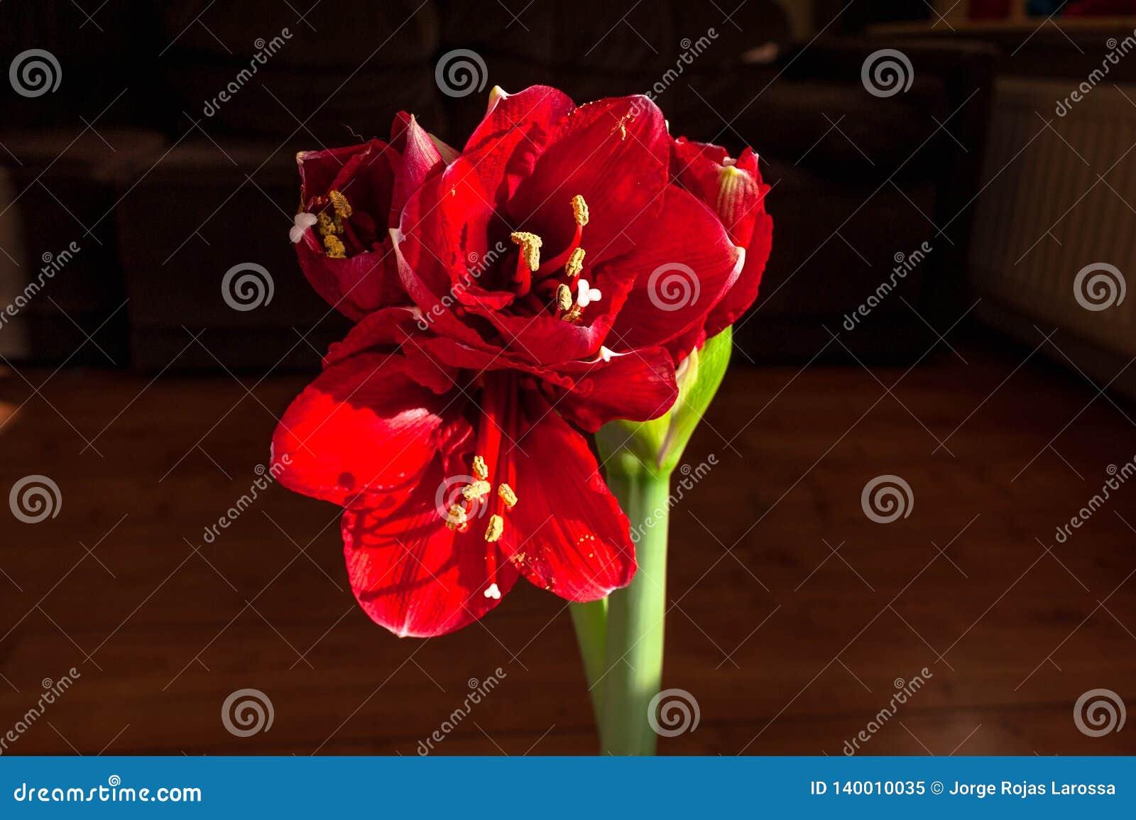 Fleur d Amaryllis reflétant ses belles couleurs rouges pour décorer le salon