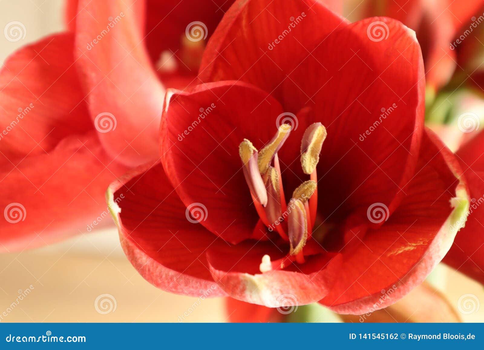 Fleur d Amerillis