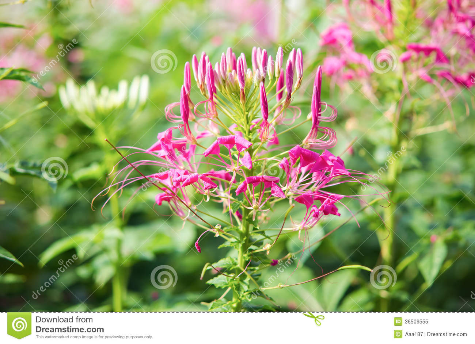 Fleur d araignée rose