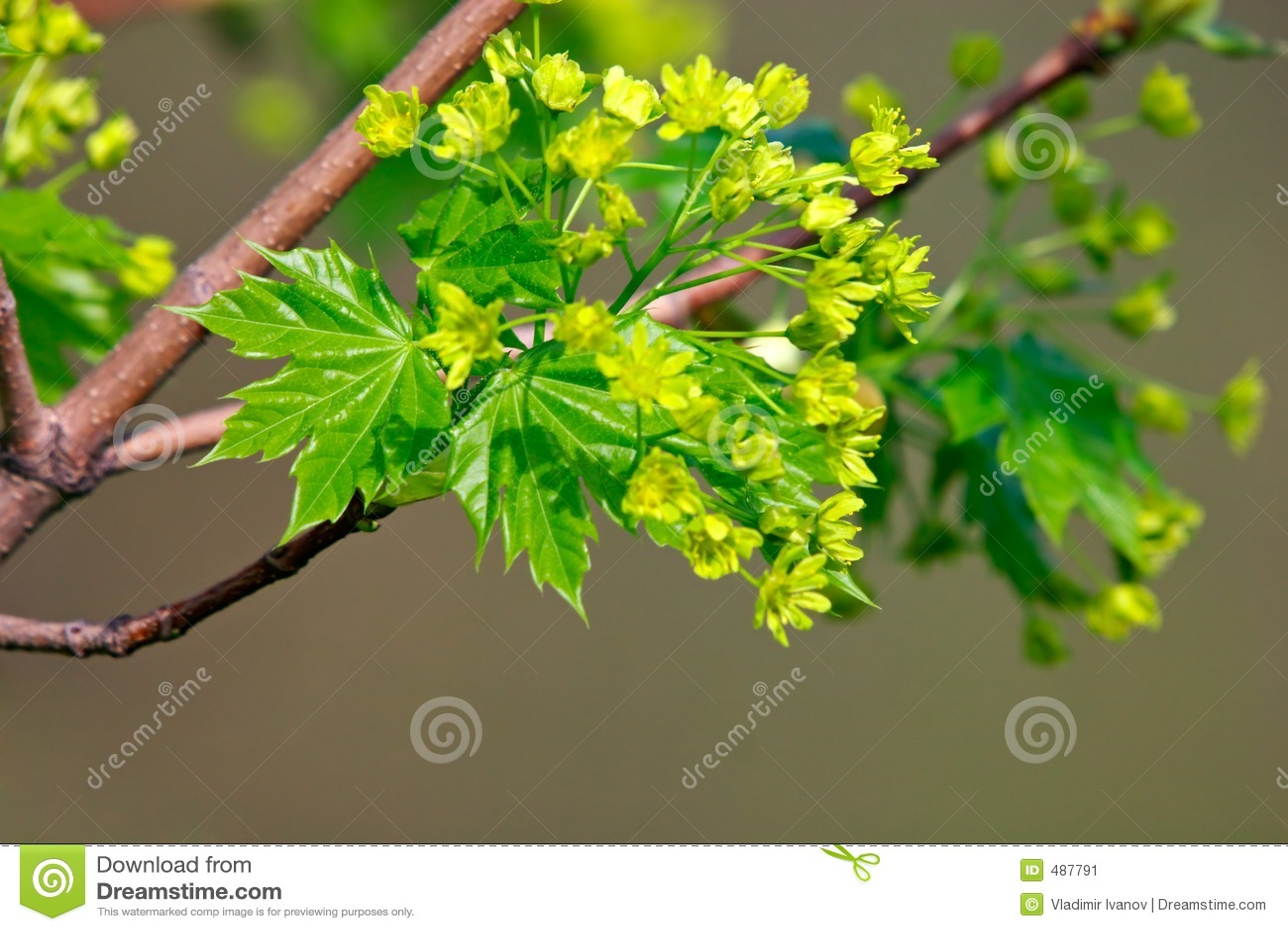 Fleur d arbre d érable