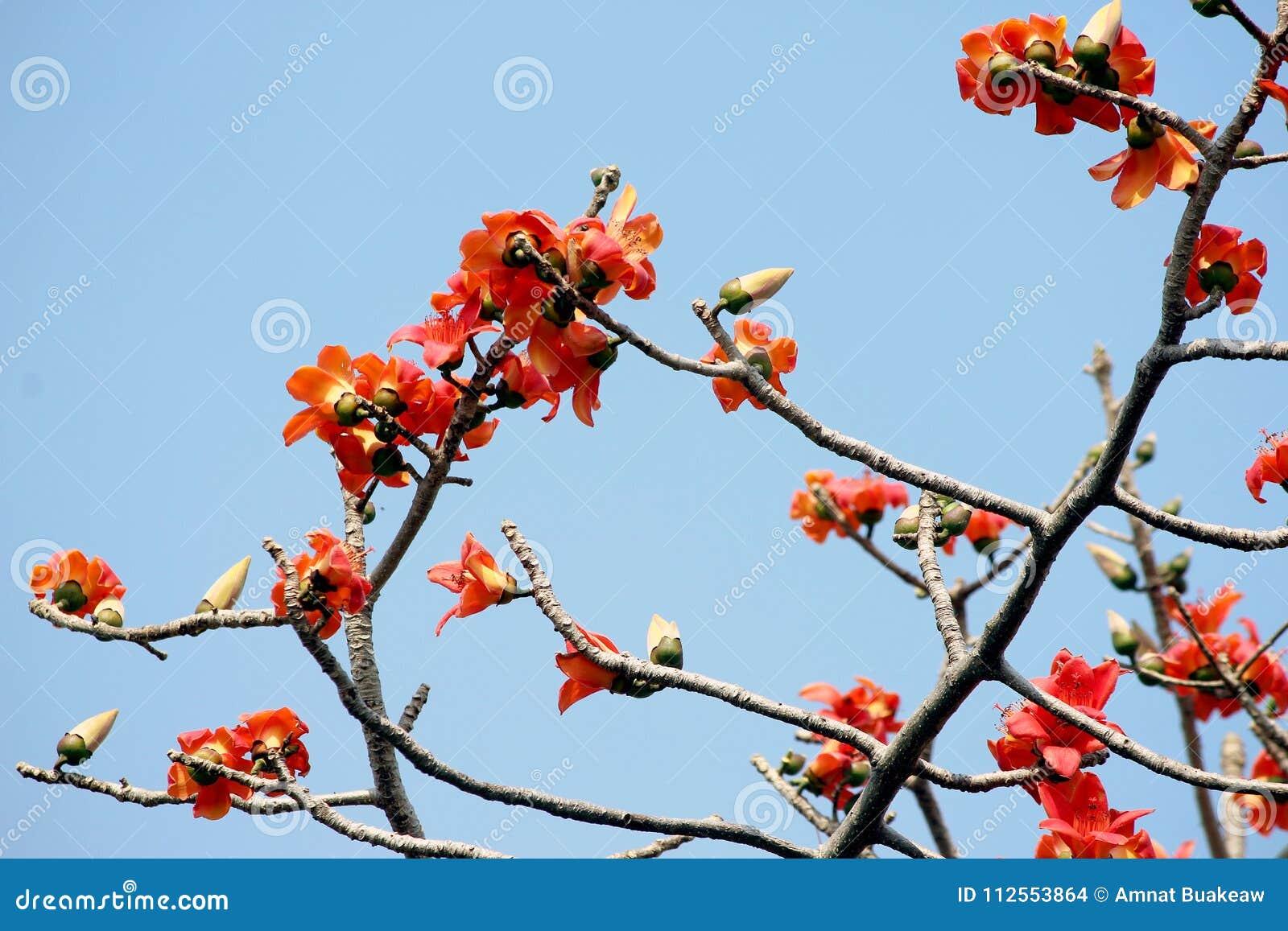 fleur d'arbre de ceiba de bombax ou de coton de fleur sur l'arbre