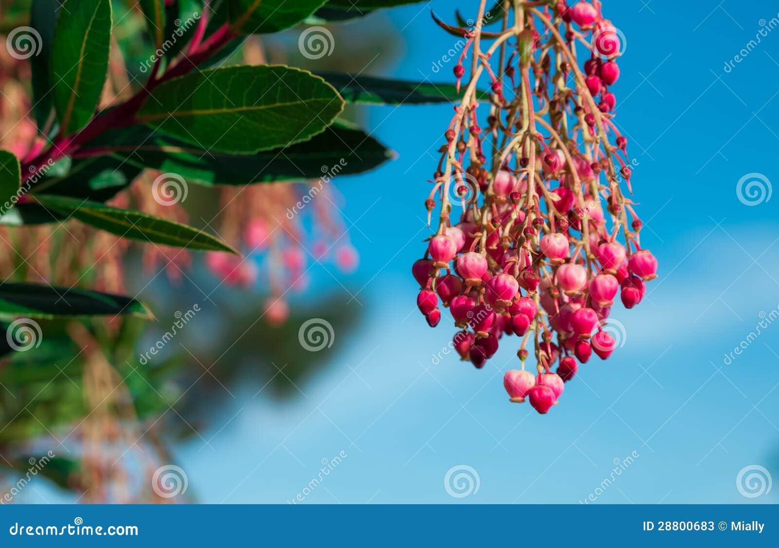 fleur d 39 arbre fruitier de yumberry photos stock image 28800683. Black Bedroom Furniture Sets. Home Design Ideas