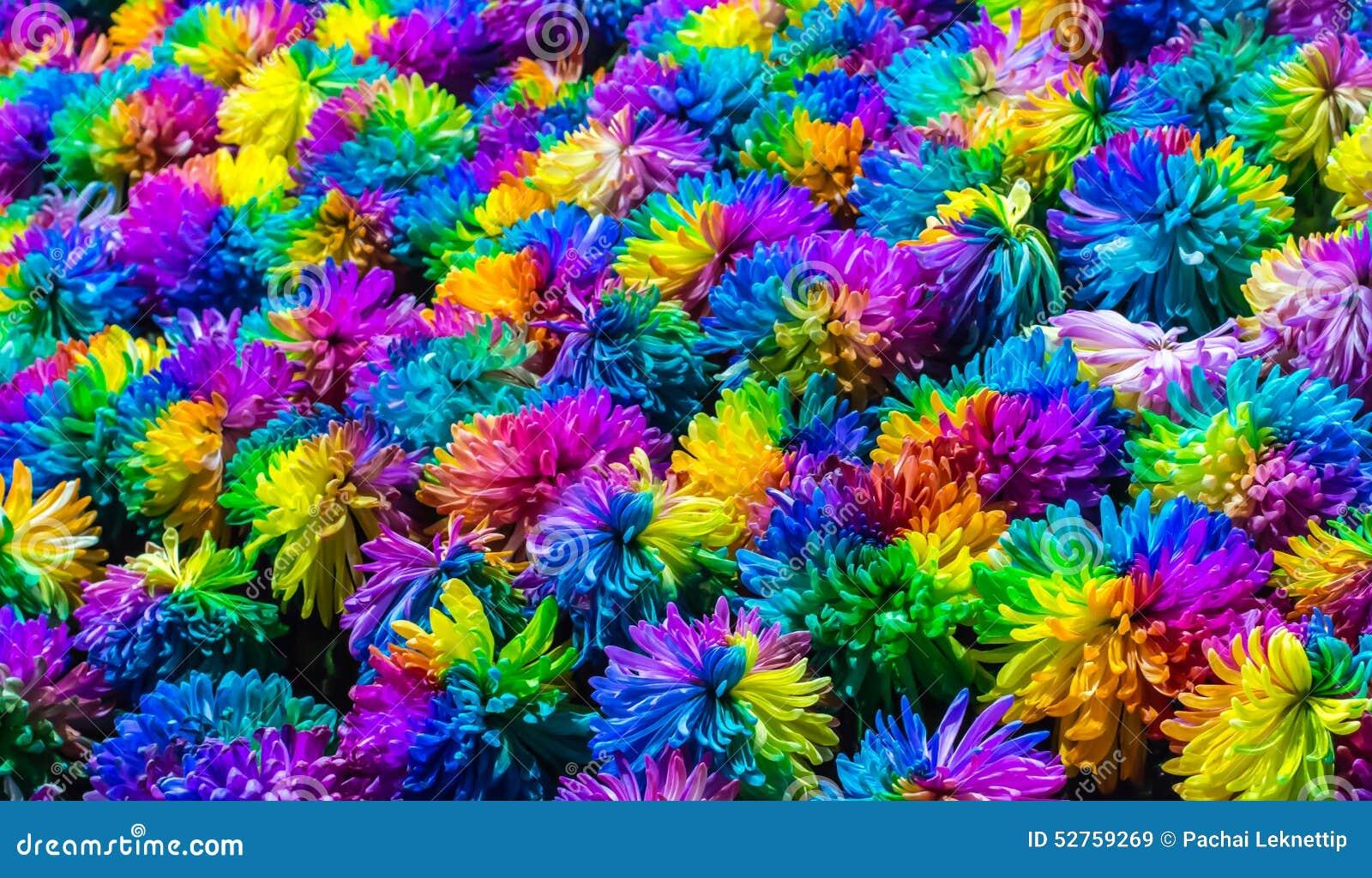 fleur d 39 arc en ciel de chrysanth me photo stock image 52759269. Black Bedroom Furniture Sets. Home Design Ideas